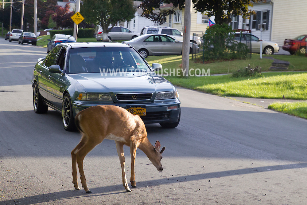 Middletown, New York - A man stops his car while a white-tailed deer feed on berries in the street on June 28, 2014. ©Tom Bushey / The Image Works