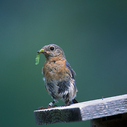 A female Eastern bluebird with a caterpillar on her nest box.  Apple orchard.  Sialia sialis.  Groton, MA