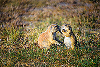 Prairie Dogs, Roberts Prairie Dog Town, Badlands National Park, South Dakota USA