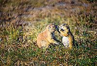 Prairie Dogs, Roberts Prairie Dog Town, Badlands National Park, South Dakota USA