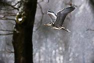 hetOOG waar: nabij Hagmolenbeek /Bentelo Wat:Ardea cinerea wanneer: zondag 14 februari 2010 12:22