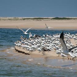 Bando de aves, nomeadamente andorinhas-do-mar e gaivotas, nos bancos de areia do Mussulo. Angola