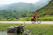 Water Buffalo and Cyclist - Vietnam