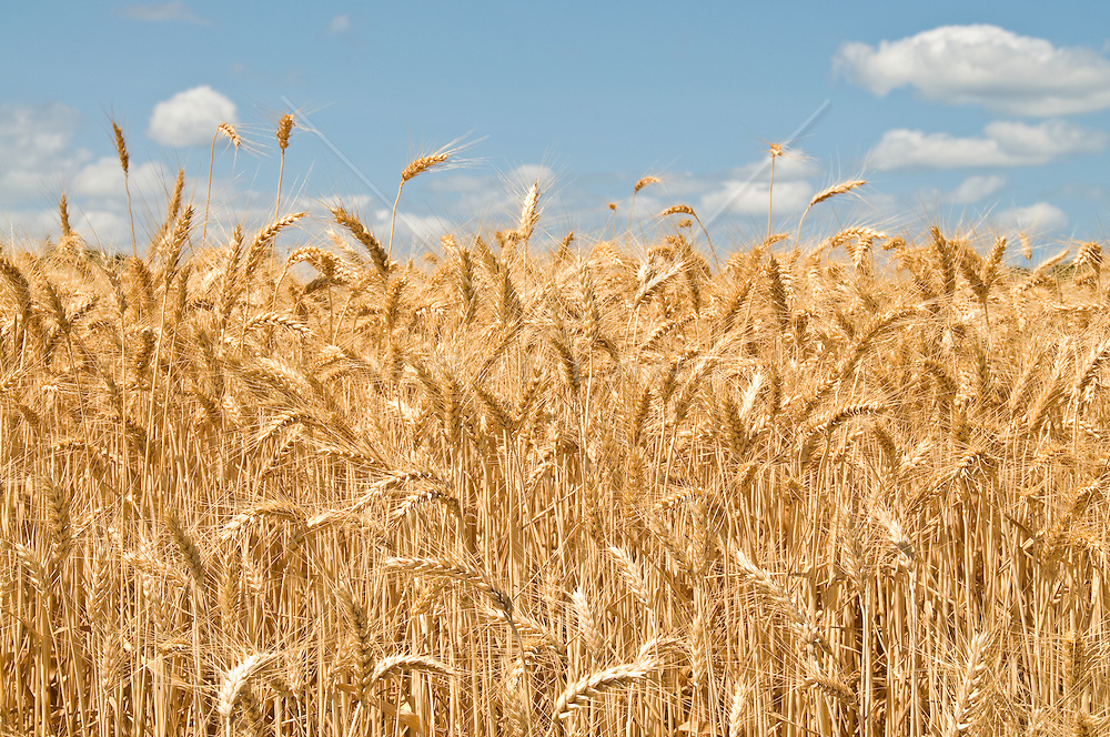 beautiful wheat field on a sunny day