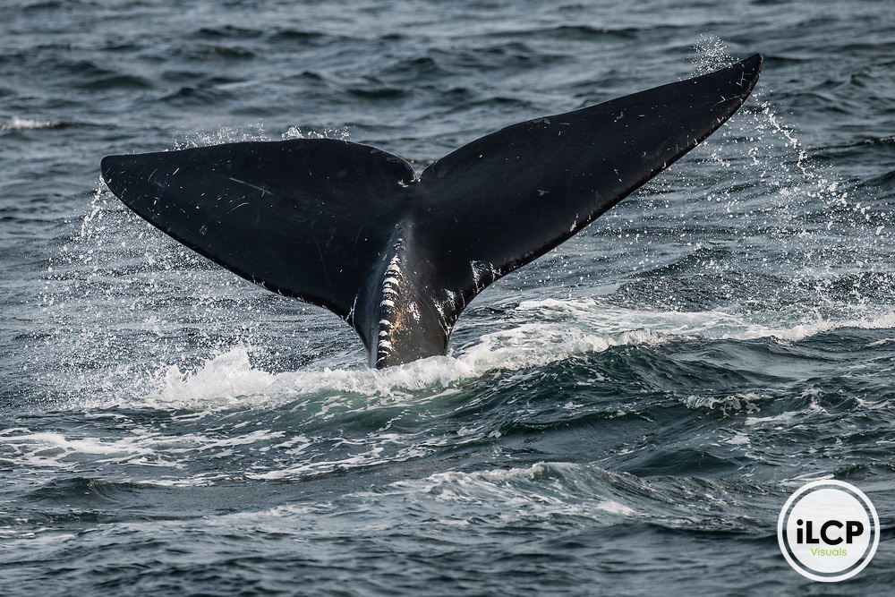 Entanglement scars from fishing gear on the tail of a North Atlantic right whale (Eubalaena glacialis), Gulf of Saint Lawrence, Canada. IUCN Status: Endangered