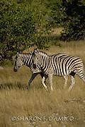 Two Zebras walk the Kenyan Savanna.