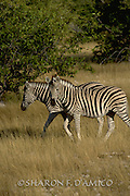 Two Zebras walk the Kenyan Savanna.