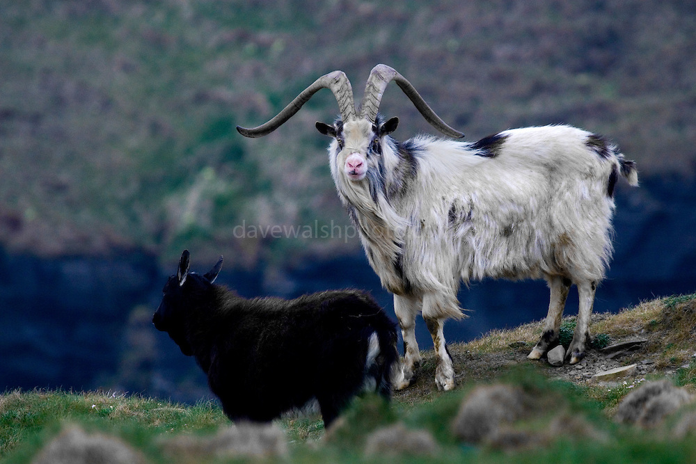 Feral, or wild Goats (Capra Hircus), at the Cliffs of Moher, Co. Clare, Ireland. Not native to Ireland, these animals were once domesticated - but over the hundreds of years since their introduction have established themselves as a wild population.