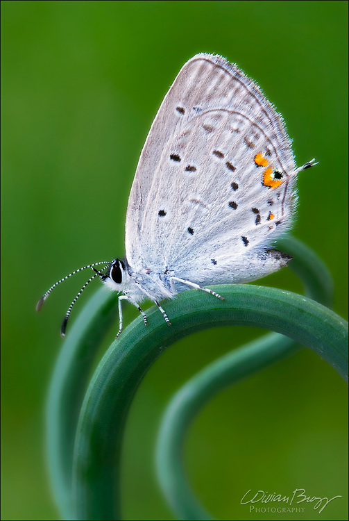 Eastern tailed-Blue butterfly (Cupido comyntas)