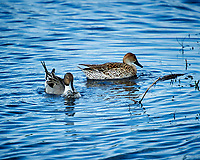 Pair of Northern Pintails. Black Point Wildlife Drive, Merritt Island National Wildlife Refuge. Image taken with a Nikon D3s camera and 70-200mm f/2.8 lens with a 2.0 TC-E III teleconverter (ISO 200, 400 mm, f/5.6, 1/250 sec).