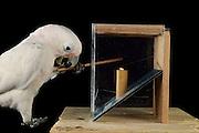 [captive] Goffin's cockatoo (Cacatua goffiniana). In this experiment, the cockatoo learns to use a tool. It needs to poke a treat (peanut) in a box using a stick until the treat falls out off the box. Handling of the stick requires coordination of foot and beak. Goffin's cockatoos or Tanimbar Corellas are endemic to the Tanimbar archipelago in Indonesia. Research on their cognitive abilities is done in the Goffin Lab (Lower Austria) by Dr. Alice M. I. Auersperg. Sequence 2/10. | Goffinkakadu (Cacatua goffiniana). In diesem Versuch muss der Goffinkakadu erlernen, mit einem Stock nach einer Belohnung (Erdnuss) zu stochern, um sie zum Rausfallen aus einer ansonsten unzugänglichen Box zu bringen. Die Handhabung des Stöckchens verlangt Koordination von Fuß und Schnabel. Der Kakadu lernt hierbei den Werkzeuggebrauch. Der Goffinkakadu ist eine Papageienart und kommt in freier Wildbahn ausschließlich auf der indonesischen Inselgruppe Tanimbar vor. Forschung zu kognitiven Fähigkeiten des Goffinkakadus wird im Goffin Lab (Niederösterreich) von Dr. Alice M. I. Auersperg durchgeführt. Sequenz 2/10.
