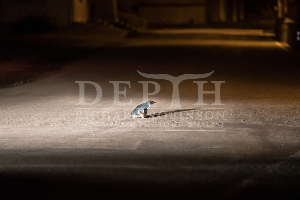 A Little penguin (Eudyptula minor) crosses a road at night in  Oamaru, New Zealand. <br /> 12 October 2016<br /> Photograph Richard Robinson &copy; 2016