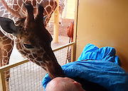 Final farewell: The heartbreaking moment a giraffe gives dying zoo worker a kiss goodbye<br /> <br /> This is the touching moment a giraffe bid a sad farewell to a dying worker who had spent his entire adult life cleaning the animal's enclosure at a Dutch zoo.<br /> <br /> The 54-year-old maintenance worker, who has terminal cancer, asked that his hospital bed be wheeled into the giraffe enclosure at Rotterdam's Diergaarde Blijdorp zoo.<br /> <br /> In a heartbreaking scene, one of the giraffes then approached the man, known only as Mario, and gave him a tender kiss goodbye.<br /> <br /> 'These animals recognised him, and felt that (things aren't) going well with him,' Kees Veldboer, founder of the Ambulance Wish Foundation - which transported Mario to the zoo - told Dutch newspaper Algemeen Dagblad.<br /> <br /> '(It was) a very special moment. You saw him beaming.'<br /> <br /> Mario, who's mentally disabled, then asked for a moment to say goodbye to his colleagues at the zoo, where he spent the vast majority of his adult life.<br /> <br /> 'It was very nice that we were able to work on the last wish of this man,' Mr Veldboer said.<br /> <br /> The Ambulance Wish Foundation is a charity whose volunteers specialise in taking non-mobile terminally ill patients fulfill their dying wishes.<br /> <br /> The organization was founded in 2007 by Veldboer, who also drives the company's fleet of ambulances to take patients wherever they wish to go.<br /> <br /> The ambulances are specifically designed with long windows so patients could watch the world go by while they were being transported.<br /> <br /> Last year the charity took a terminally-ill 86-year-old man back to his farm in Oss, Holland, to say goodbye to his ponies.  <br /> ©Ambulance Wish Foundation/Exclusivepix