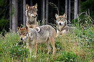 Deu, Deutschland: Wolf (Canis lupus), Gruppe von drei jungen Wölfen im Wald, kleines Rudel, Lebensraum: Alpen, Schwarzwaldpark Löffingen, Baden-Württemberg | DEU, Germany: Wolf (Canis lupus), group of three young wolves in a forest, small pack of wolves, hapitat: European Alps, Black Forest Park, Loeffingen, Baden-Wuerttemberg |
