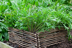 Raised salad bed edged with low woven hazel hurdles