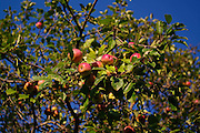 ripe apples ready to pick in Vermont orchard
