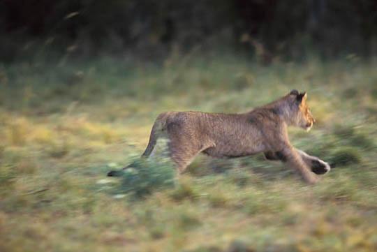 Lion, (Panthera leo) Cub running. Masai Mara Game Reserve. Kenya Africa.