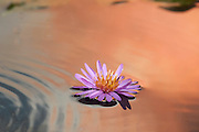 A small aster flower rests in the water reflecting the sunset.