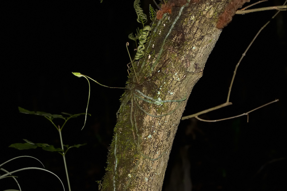 Ghost orchid bud at night in the Fakahatchee Strand! Probably not recommended for the bravest of orchid hunters, the Fakahatchee Strand in SW Florida is an especially busy time at night! This bud opened a few days later.