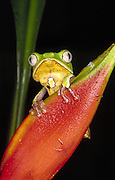 Green tree frog on helliconia flower, rain forest along Tambopata River, Amazon Basin, Peru. Tambopata-Candamo Reserve.