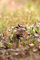 A Killdeer sits motionless on its nest that is made on the ground nestled in the gravel.