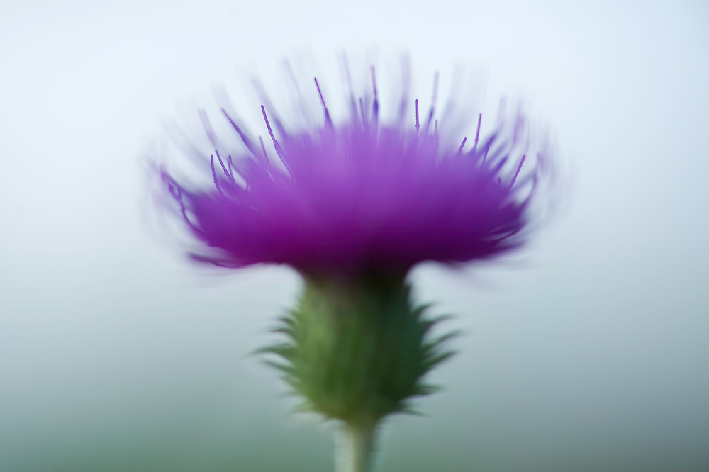 Thistle (Carduus) closeup, Hortobagy National Park, Hungary