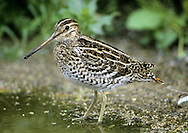 Great Snipe - Gallinago media