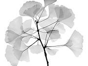 An x-ray of ginko leaves.(Ginkgo biloba) also known as the maidenhair tree. The leaves are unique among trees in that they have no midrib and no network of veins; rather the venation consists of aconstantly branching fan from the base of the leaf.