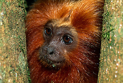 The bare skin of the face of a Golden Lion Tamarin (Leontopithecus rosalia) is surrounded by a remarkable mane from which the name of this species derived.  | Die nackte Gesichtshaut des Löwenäffchens (Leontopithecus rosalia) ist von der namensgebenden, goldenen Mähne umgeben.