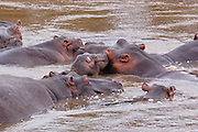 hippos gather in a group around watering holes. Spend the day in the water to stay cool.hippo in lily pads surfacing.  Eyes, ears and nostrils on the top of the head