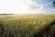 Field of barley in bright sunshine, Shottisham, Suffolk, England, UK