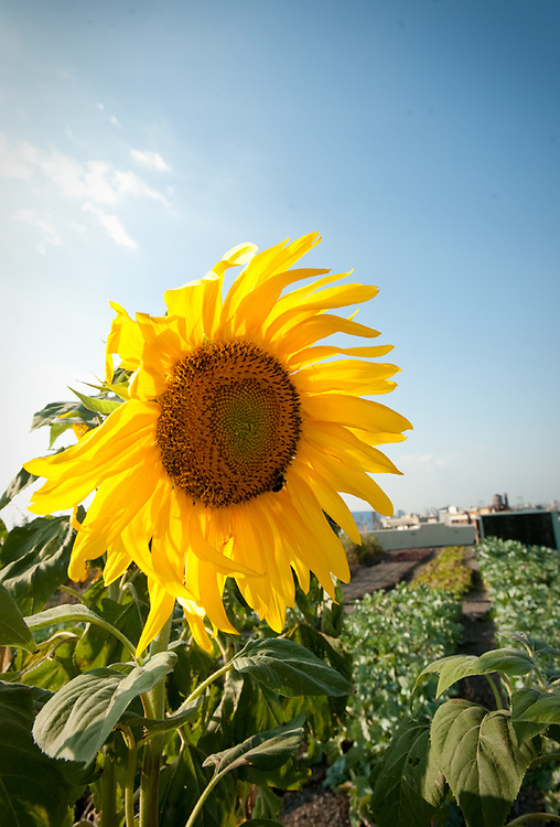sunflower and crops during the 1st growing season