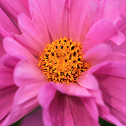 """""""Double Click Pink Cosmos""""<br /> <br /> Beautiful pink hued Double Click Cosmos. A lovely pink-purple flower with layers of petals and a bright yellow center!<br /> <br /> Flowers and Wildflowers by Rachel Cohen"""