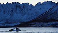 Humpback whales bulk feeding on herring, Megaptera novaeangliae, Senja, Troms county, Norway, Scandinavia