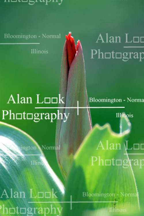 08 April 2005:   A tulip plant has a bud ready to burst into a bloom of beautiful red.