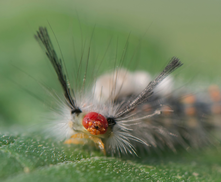 Tussock Moth Caterpillar (unknown species);<br />