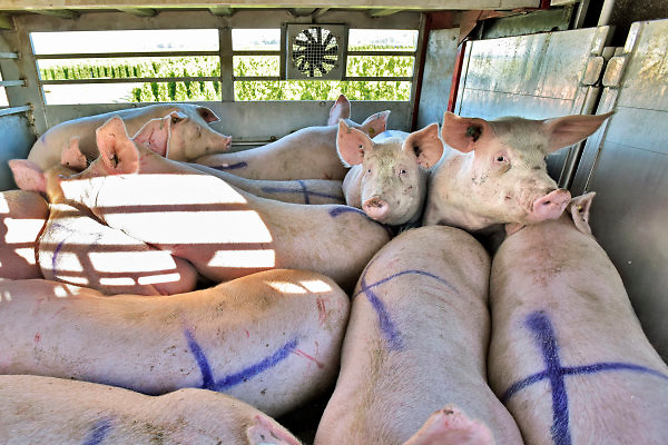 Nederland, 17-4-2018Langs een doodlopende weg in Noord Limburg staat een aanhanger met varkens geparkeerd. Hij is weggezet door een transporteur om later weer opgehaald te worden om verder vervoerd te rijden naar zijn eindbestemming, het slachthuis, slachterij, in binnenland of het buitenland .Foto: Flip Franssen