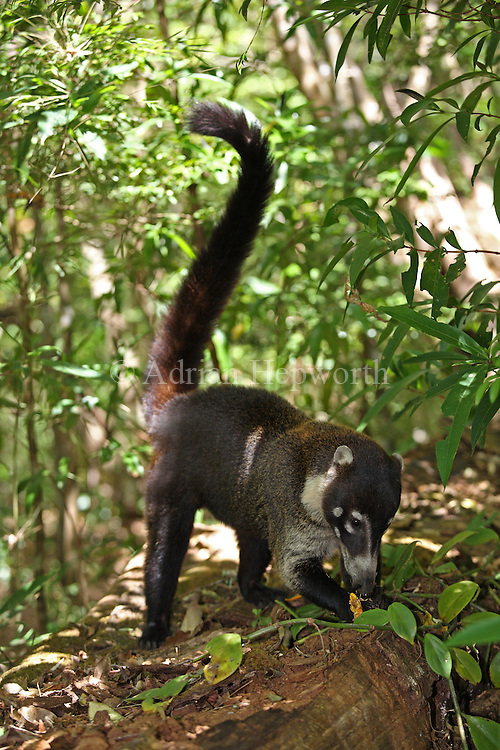 White-nosed Coati (Nasua narica) eating.  Rainforest in Rincon de la Vieja National Park, Costa Rica. <br />