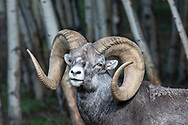 Wild Stone sheep (Ovis dalli stonei) in habitat
