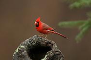 Northern Cardinal (Cardinalis cardinalis), male, perched on stump