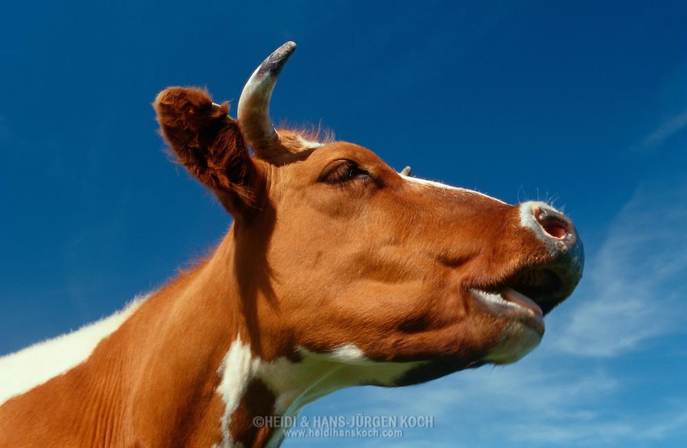 DEU, Deutschland: Hausrind (Bos taurus), Porträt einer Kuh vor blauem Himmel, Rasse: Rotbunte, Norddeutschland   DEU, Germany: Domestic cattle (Bos taurus), portrait of a cow in front of blue sky, race: Red Holstein, Northern Germany  