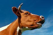 DEU, Deutschland: Hausrind (Bos taurus), Porträt einer Kuh vor blauem Himmel, Rasse: Rotbunte, Norddeutschland | DEU, Germany: Domestic cattle (Bos taurus), portrait of a cow in front of blue sky, race: Red Holstein, Northern Germany |