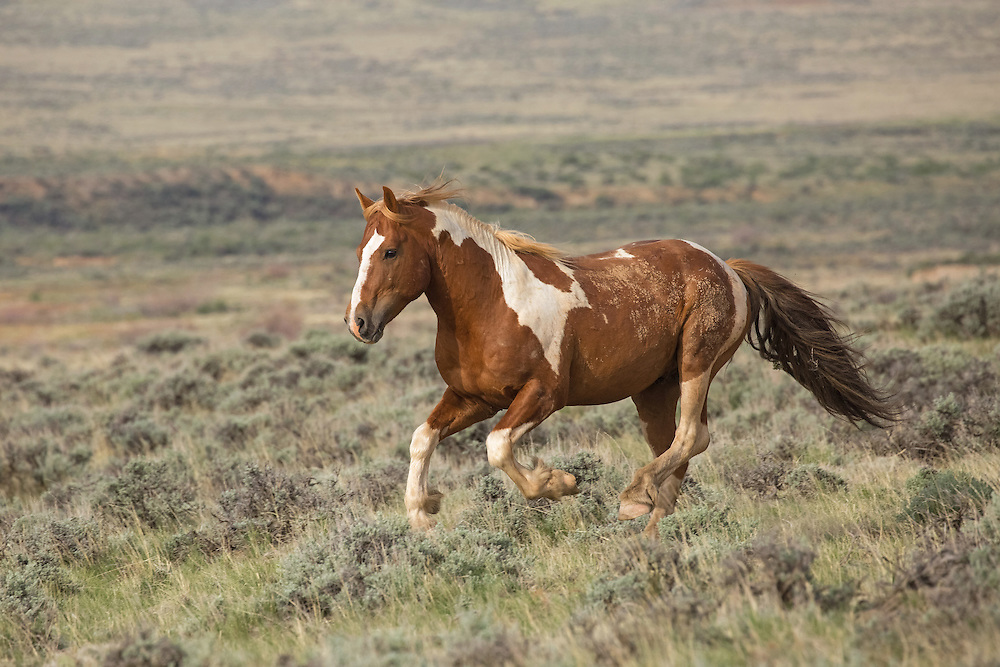 The beautiful stallion, S. S. Surprise, gallops through the sage at McCullough Peaks. Nothing feeds my soul more than watching these majestic horses run wild and free. No matter how many times I hear their thundering hooves and watch them as they run past, it always takes my breath away.