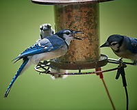 Gang of Blue Jay's. Image taken with a Nikon D5 camera and 600 mm f/4 VR lens