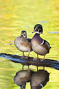 Wood Duck, Aix sponsa, male and female, Lake County, Ohio