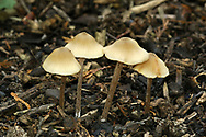 Aromatic Pinkgill - Entoloma pleopodium