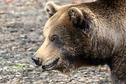 Landgoed Hoenderdaell, Het dierenpark bevindt zich in een uitgestrekt natuurpark en dieren hebben er alle ruimte.Op het terrein zit ook Stichting Leeuw<br /> <br /> op de foto: Europese bruine beer
