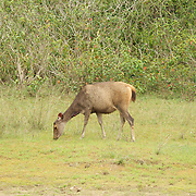 Wild female Sambar deer, Cervus Unicolor,  at the Khao Yai National Park in Thailand.