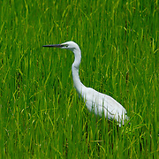 Chinese Egret, Egretta eulophotes in a rice paddy