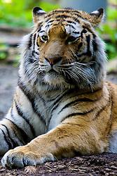 20.04.2011, Wien, AUT, Feature, im Bild Tiger im Tierpark von Schloss Schönbrunn, EXPA Pictures © 2011, PhotoCredit: EXPA/ Erwin Scheriau